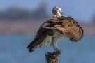 Falco pescatore, molto arrabbiato con le cornacchie che lo stanno mobbando