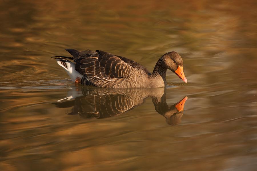 Oca selvatica, Oasi di Racconigi, Piemonte - (Greylag goose, Oasis of Racconigi, Piemonte, Italy)