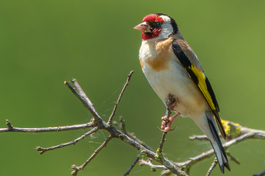 Cardellino, Parco nazionale del Circeo - (European Goldfinch, National Parck of Circeo, Italy)