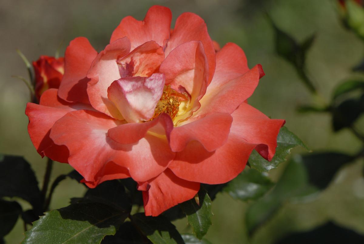 rosa2 - _DSC4697_01.jpg