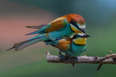 Gruccione, Parco nazionale del Circeo - (Bee-eater, National Parck of Circeo, Italy) - ***** Nel sito c'è una sezione specifica dedicata ai Gruccioni, Martin pescatore e Picchi.Clicca qui per andare alla sezione specifica ***** Nel sito esiste una sezione dedicata al Parco Nazionele del Circeo. Clicca qui per andare alla sezione specifica