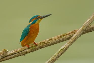 Martin pescatore, Oasi della Madonnina, Piemonte - (Kingfisher, Piemonte, Italy)