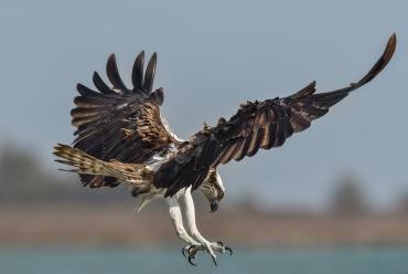 Falco pescatore ***** Se vuoi abbandonare il Portfolio e andare alla galleria della Sardegna per vedere tutte le foto del falco pescatore clicca Qui
