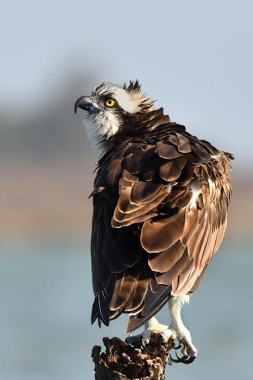 Falco pescatore *****