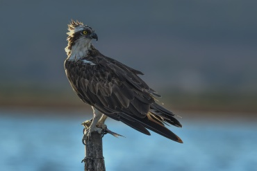 Falco pescatore - controluce *****