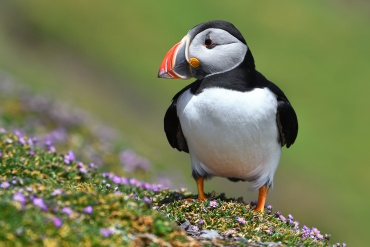 Pulcinella di mare ***** Le isole Skellig in Irlanda sono un paradiso per alcuni uccelli acquatici, in particolare per le Pulcinalla di mare e per le sule, ma le due isole sono popolate da molte altre specie nonche da foche.