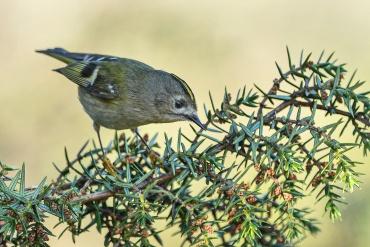 Regolo ***** Sono uccellini piccoli che non stanno mai fermi, sempre nascosti tra i rami. Bisogna essere pronti a scattare quando ti concedono qualche secondo di visibilità