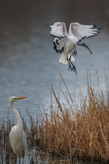 Ibis sacro e Airone bianco maggiore *****