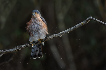 Falco Sparviere *****