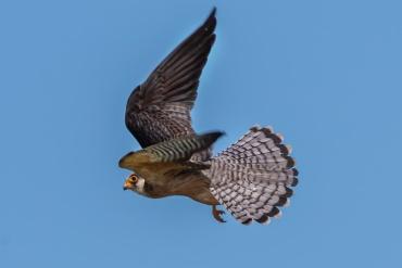 Falco cuculo ***** Se vuoi abbandonare il Portfolio e andare alla galleria Romania - Ultima Frontiera clicca Qui