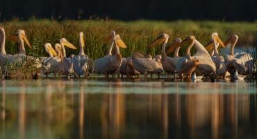 Pellicani in laguna al tramononto ***** Se vuoi abbandonare il Portfolio e andare alla galleria Romania - Ultima Frontiera clicca Qui