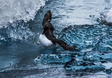 Uria si dibatte tra gli iceberg *****