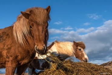 Cavalli islandesi *****