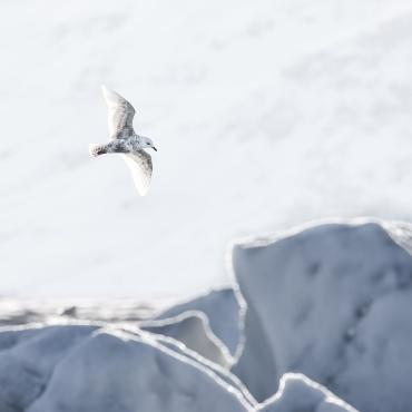 Gabbiano d'Islanda tra i ghiacciai *****