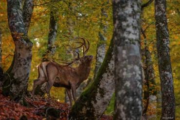 Cervo maschio si allontana nel bosco *****