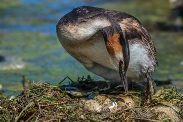 Svasso aiuta il piccolo a uscire dall'uovo *****