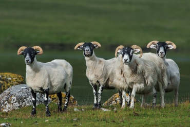 Pecore scozzesi *****