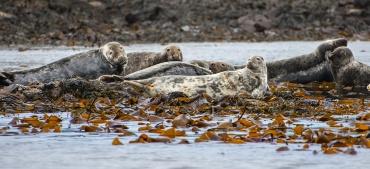 Foche a largo dell'isola di Mull - Scozia *****
