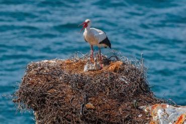 Cicogna e pulli sull'oceano Atlantico *****