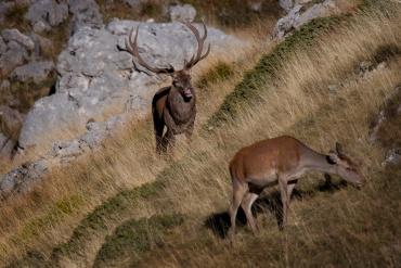 Cervo maschio segue la femmima *****