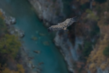 Grifone sorvola il canyon del Verdon ****