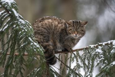 Gatto selvatico sotto una nevicata *****