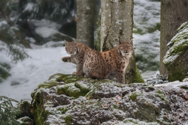 Lince *****