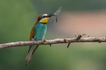 Gruccione con libellula ***** Se vuoi abbandonare il Portfolio ed andare alla galleria dei Gruccioni, Picchi e Martin Pescatore Clicca Qui