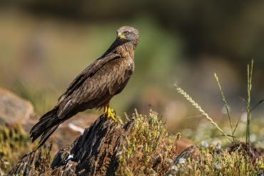 Nibbio bruno - (Milvus migrans)