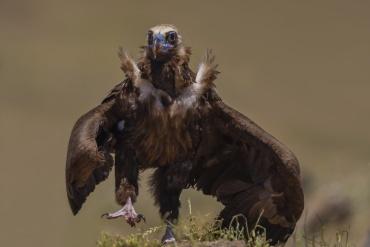 Avvoltoio monaco - (Aegypius monachus) - questo avvoltoio si è avvicinato al capanno saltellando, io stavo con la D500 (aps-c) e con il 500mm f4 ho scattato sperando di non tagliarlo, per fortuna è andata bene. E' un esemplare stupendo.
