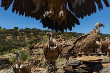 avvoltoi - sono circondato da avvoltoi, sono venuti più vicini al capano per abbeverarsi e qualcono si posa addirittura sul tetto del capanno.