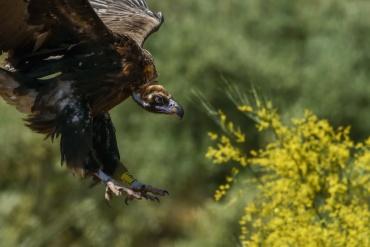 Avvoltoio monaco - (Aegypius monachus) - ed ecco un altro scatto dell'avvoltoio monaco in atterraggio con un meraviglioso sfondo giallo. Questa foto l'ho cercata ed ho aspettato che un grifone passasse proprio li, questa volta la fortuna è stata dalla mia parte; il rapace è passato proprio dove si trovava il cespuglio di ginestra