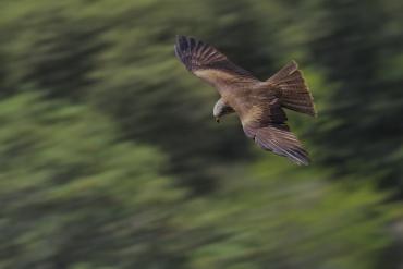 Nibbio bruno - (Milvus migrans) - Ho fatto anche molti tentativi di panning qualcuno dei quali è discretamente riuscito