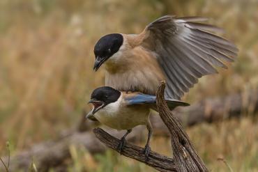 Gazza ali azzurre Iberica - Non sono trascorsi più 3 o 4 secondo dall'inconfondibile richiamo della femmina, quando il maschio più vicino le è saltato addosso per l'accoppiamento eper il proseguimento dei questa stupenda ed endemica specie iberica.