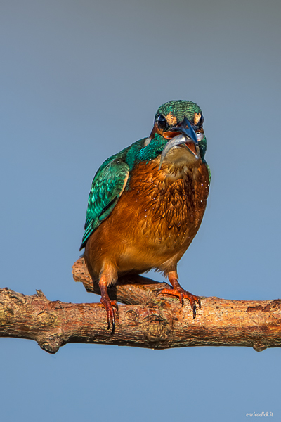 Martin pescatore - (Kingfisher)