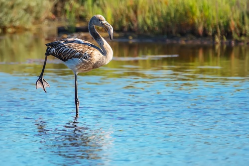 Fenicottero - (Flamingo)