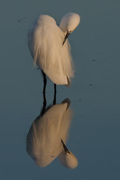 Garzetta - (Little egret)