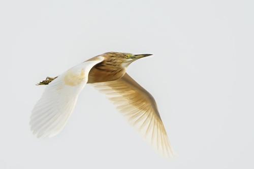 Sgarza dal ciuffo - (Squacco Heron )