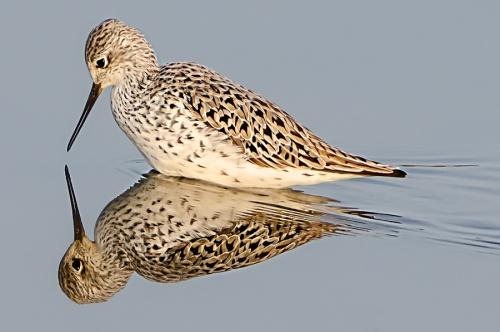 Albastrello -(Marsh Sandpiper)