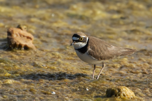 Corriere piccolo - (Little Ringed Plover )