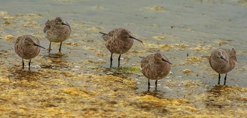 Piovanello - (Curlew Sandpiper)