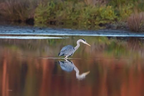 Airone cenerino - (Gray Heron)