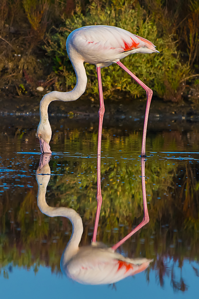 Fenicottero, Parco nazionale del Circeo - (Flamingo) National Park of Circeo, Italy