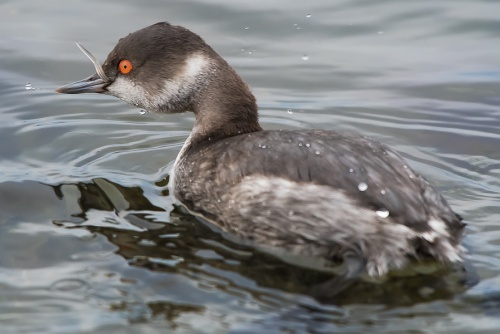 Svasso piccolo, Parco Nazionale del Circeo - ( Black-necked grebe, National Park of Circeo, Italy)