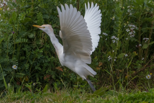 Airone guardabuoi, parco Nazionele del Circeo - (Cattle egret, National Park of Circeo)