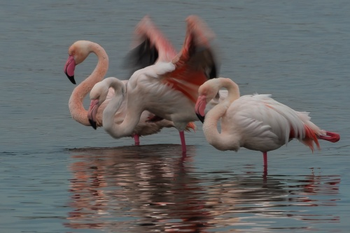 Fenicottero, Parco Nazionale del Circeo - (Flamingo, National Park of Circeo, Italy)