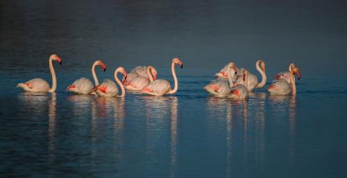 Fenicottero, Parco Nazionale del Circeo, Italia - (Flamingo, National Park of Circeo, Italy)